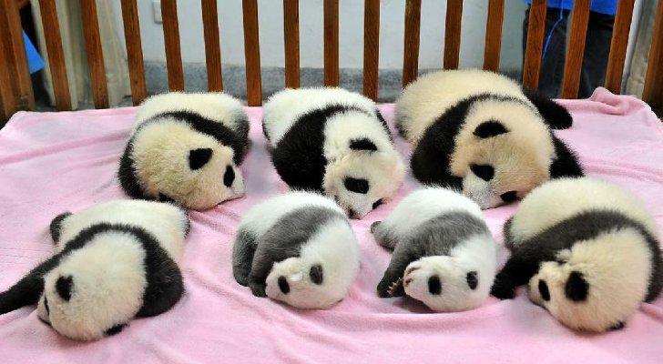 7 pandas bebés+fotógrafo= Una tierna imagen
