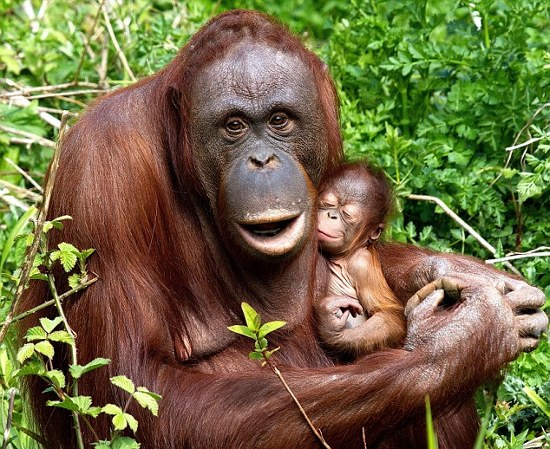 Bornean orangutans baby - photo#19