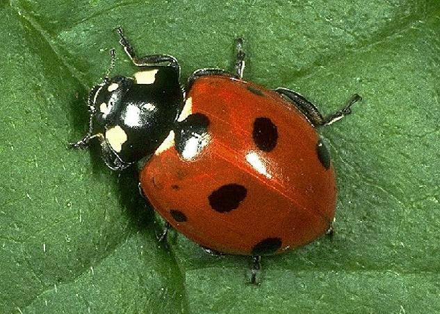 ladybirds - photo #24