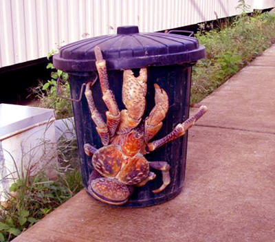The-Largest-Land-Invertebrate-Coconut-Crab-4 - The Largest Land Invertebrate: Coconut Crab - Science and Research