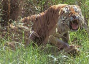Tiger Attack at San Francisco Zoo - Softpedia