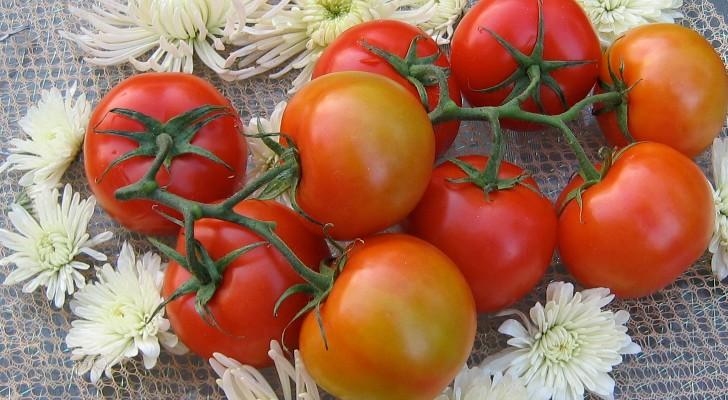 tomato diseases essay