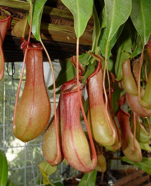 Carnivorous plants pitcher plant - photo#16