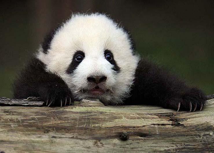 Twin Giant Panda Cubs Born At Atlanta Zoo Softpedia