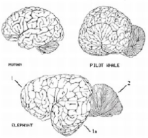 http://news.softpedia.com/images/news2/Whale-Brain-Surprisingly-Similar-to-Human-Brain-4.jpg