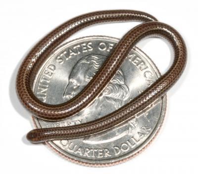 World 039 s Smallest Snake Found in Caribbean Islands 2 کوچکترین مار دنیا